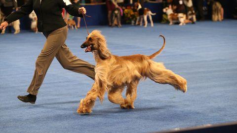 national dog show 2020 - photo #23