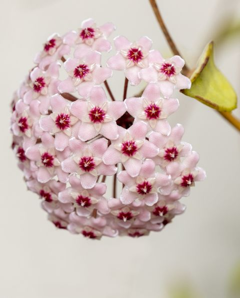 hoya kerrii wax flowers