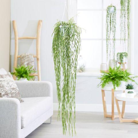 indoor hanging plants: hoya linearis