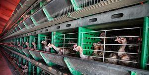 Telt dierenwelzijn wel mee, dan is de biologische veeteelt wel beter.