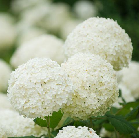 huge white hydrangea heads in perfect formation royalty free image 1574016879.jpg?crop=0.777xw:1.00xh;0 - 15 Melhores FLORES BRANCAS para o seu JARDIM