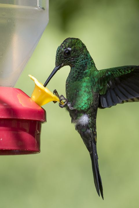 Do ruby throated hummingbirds prefer some colors more than others when visiting flowers
