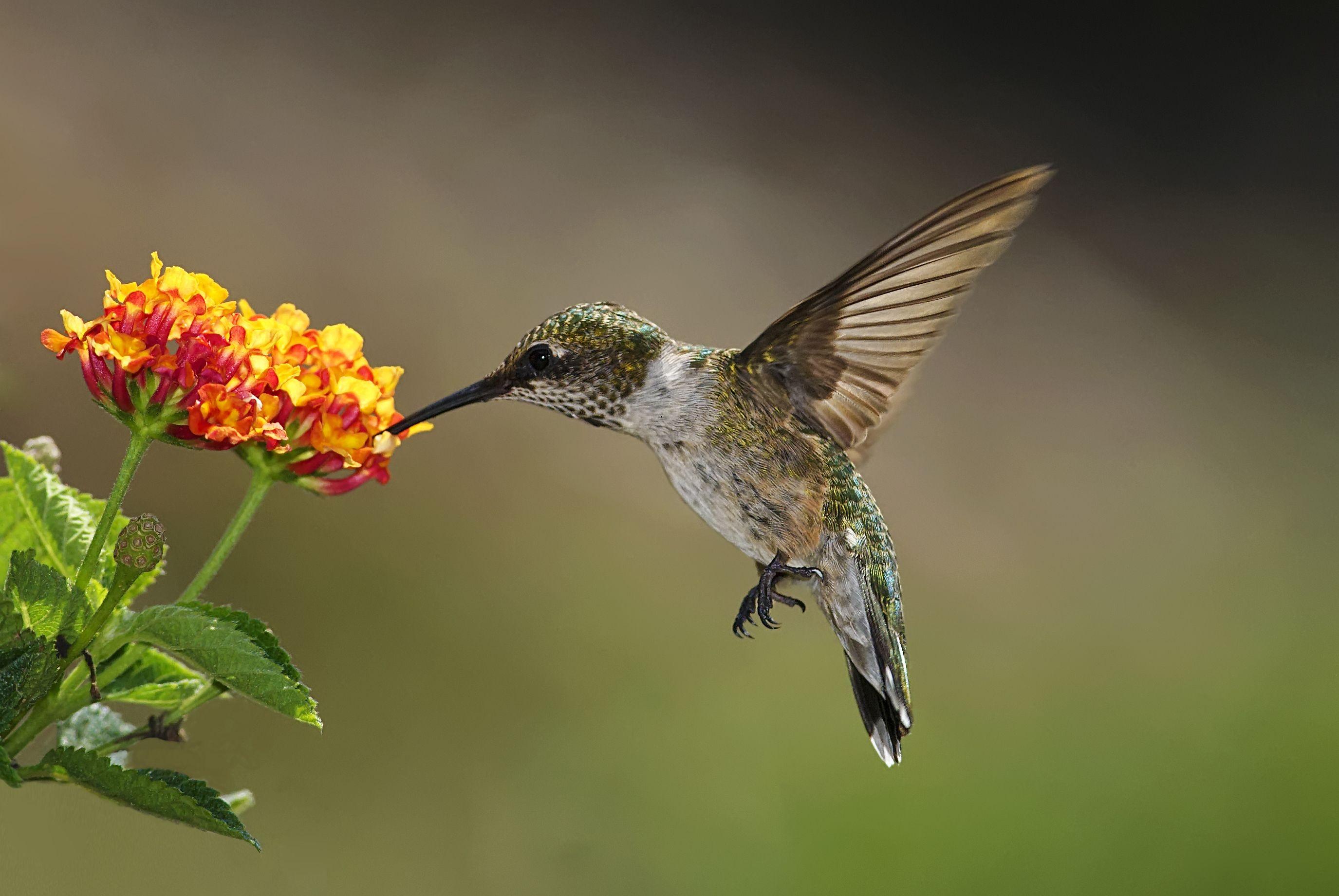 Stunning Photos Of Hummingbirds National Hummingbird Day