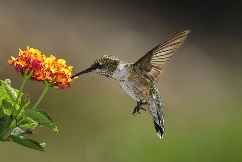 Hummingbird feeding on lantana