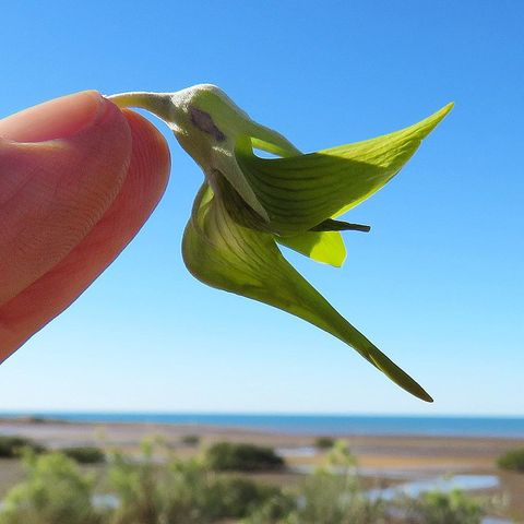 Hummingbird Shaped Flower - Green Birdflower, Regal Birdflower, Crotalaria Cunninghamii