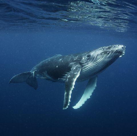 humpback whale calf, vava'u, tonga