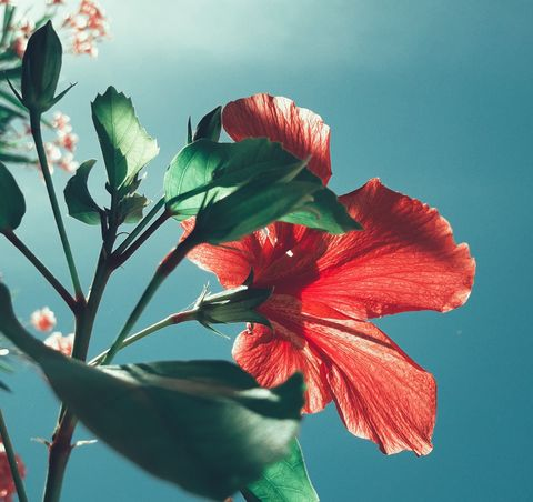 Flower, Flowering plant, Plant, Petal, Hawaiian hibiscus, Hibiscus, Chinese hibiscus, Botany, Malvales, Mallow family,