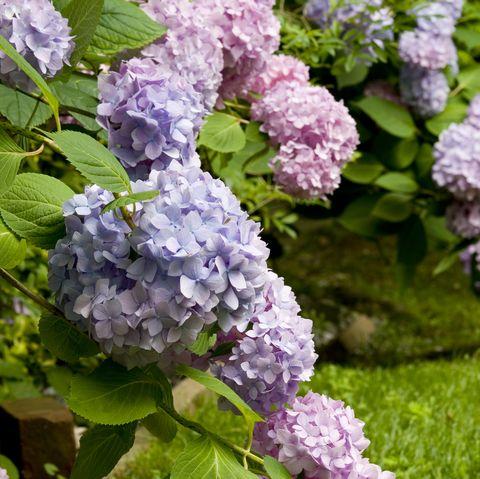 Grappes d'hortensias dans le jardin