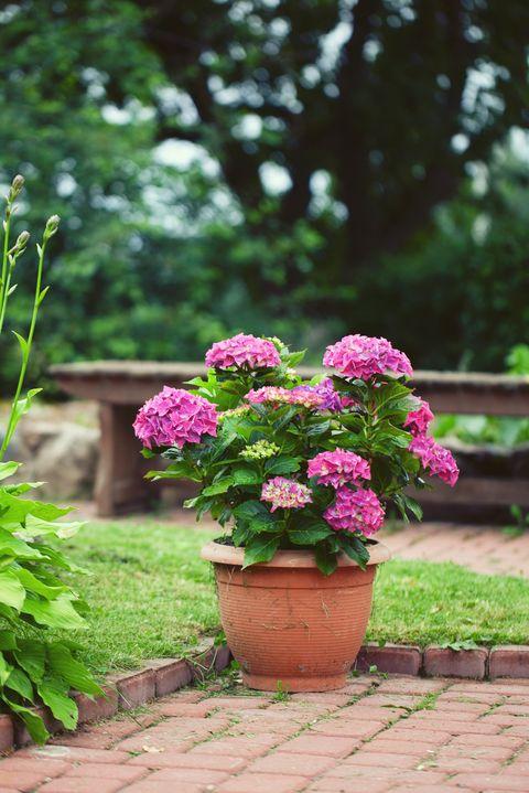 hydrangea in pot in garden