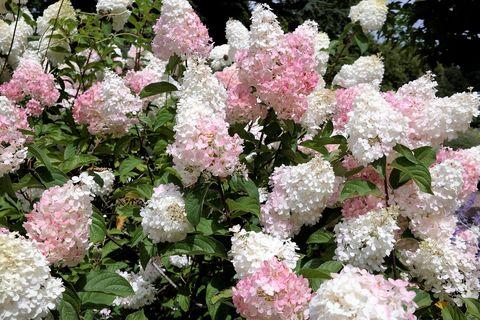 Hydrangea Limelight Paniculata bush in summer garden
