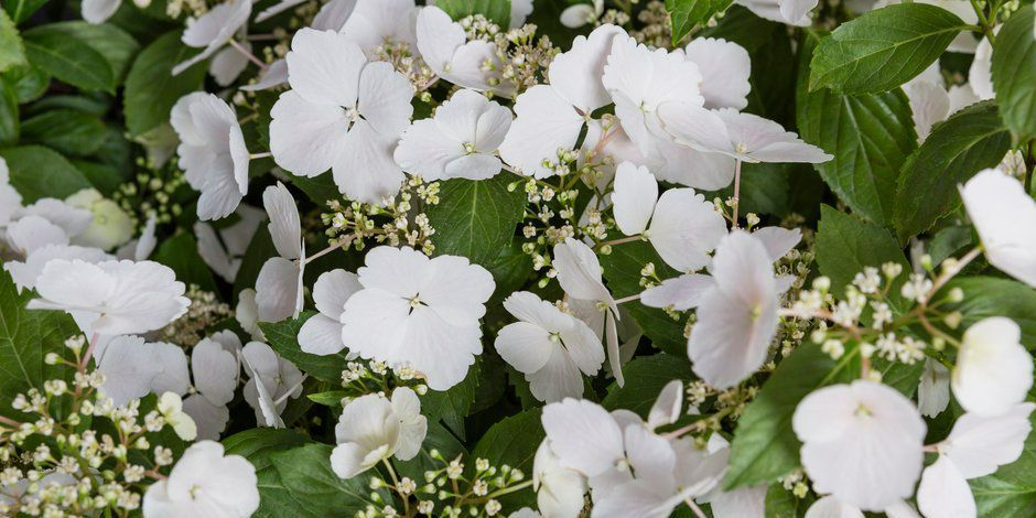 Hydrangea Runaway Bride Snow White has been crowned the Chelsea Flower Show's Plant of the Year for 2018