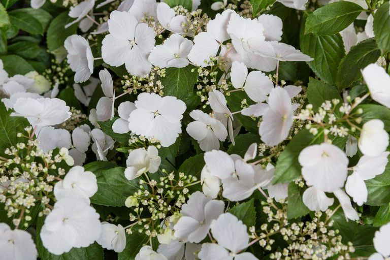 Chelsea Flower Show Plant Of The Year Is Hydrangea Runaway