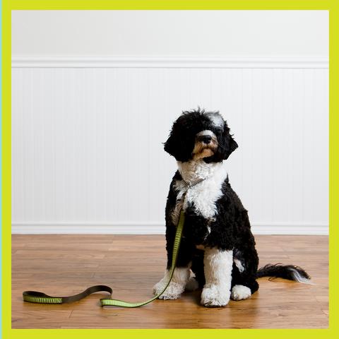 a fluffy dog wearing a leash