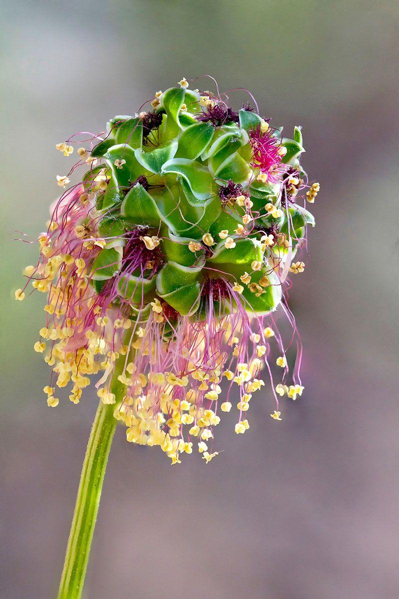 Ian Gilmour - Salad Burnet Flower - IGPOTY
