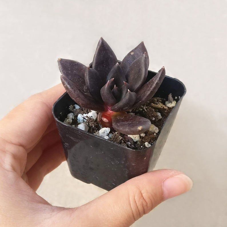 Spooky Black Succulents Exist, And They're Perfect For Halloween