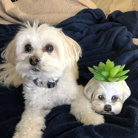 Dog, Mammal, Vertebrate, Dog breed, Maltepoo, Canidae, Maltese, Carnivore, Puppy, Shih tzu,