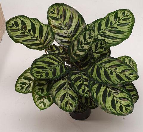 Calathea Makoyana - Prayer Plant