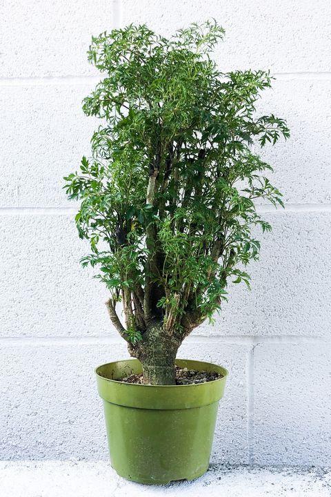 Flowerpot, Tree, Plant, Flower, Houseplant, Woody plant, Leaf, Flowering plant, Grass, Shrub,