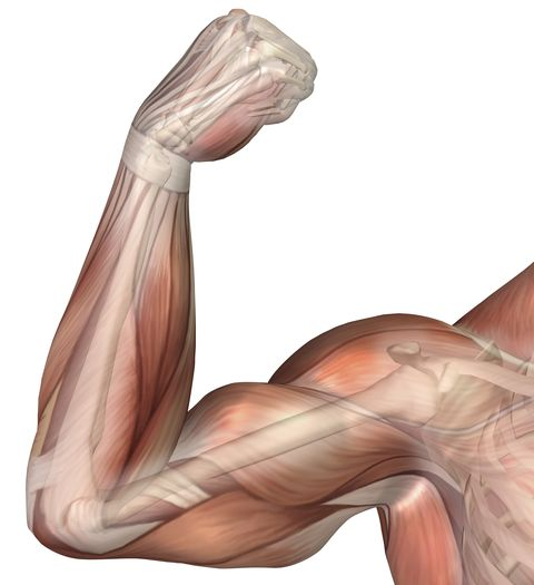 illustration of a flexed arm showing human bicep muscle