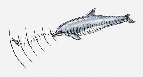 illustration of dolpin using echolocation to locate fish