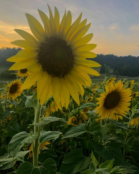 sunflower field with setting sun in background