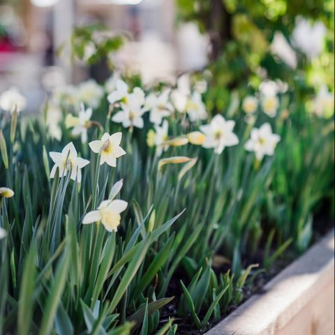 Flower, Spring, Plant, Grass, Yellow, Flowering plant, Leaf, Botany, Snowdrop, Petal,