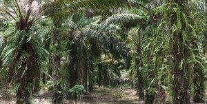 Palmolie slecht milieu - Met deze tips stop je met eten van palmolie