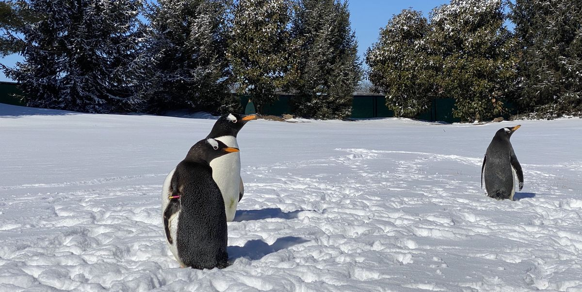 Watch the Adorable Moment 3 Penguins Left Their Aquarium to Play in the Snow