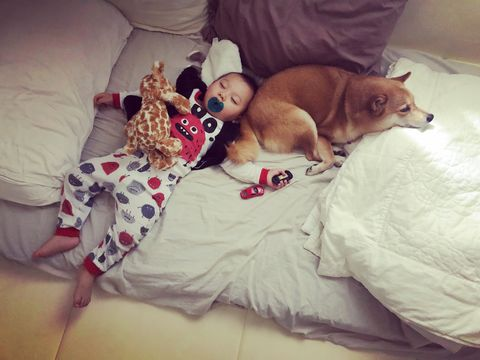 Dog, Canidae, Companion dog, Shiba inu, Puppy, Puppy love, Bed, Carnivore, Nap, Child,