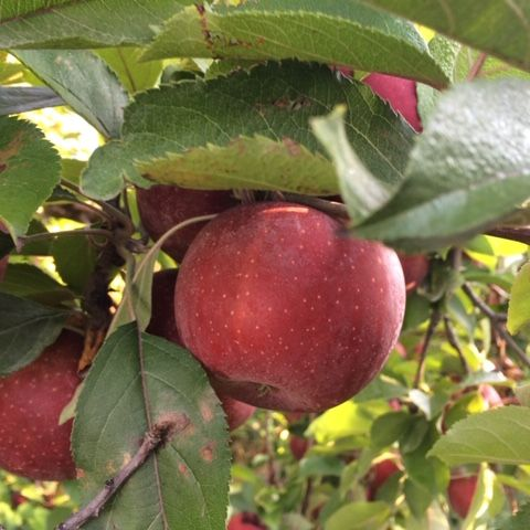 close up of red apples on a tree