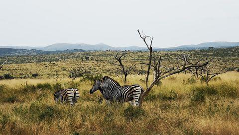 Zebra, Wildlife, Savanna, Terrestrial animal, Grassland, Shrubland, Natural environment, Plant community, Safari, Nature reserve,