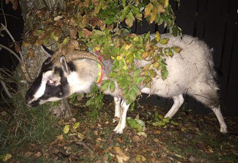 Road Bike Stolen While Good Samaritan Chases Down Runaway Goat