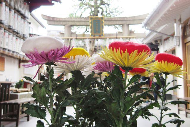 河原町五条・市比賣神社 重陽の節句 菊の被せ綿