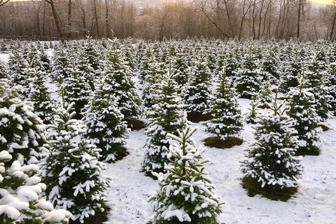 dorman tree farm