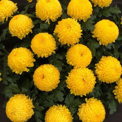 Chrysanthemums Archie Harrison