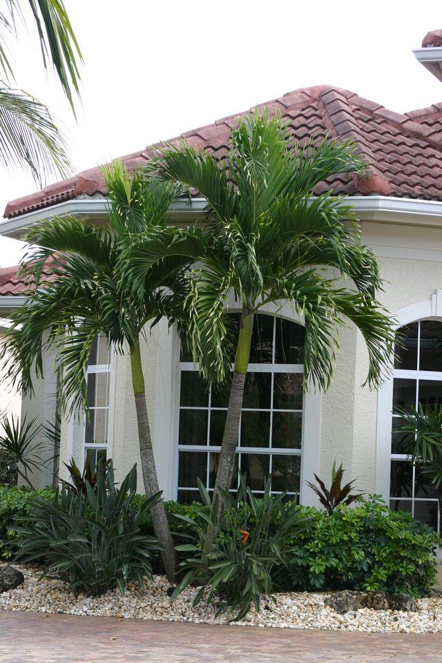 manila palm christmas tree palm