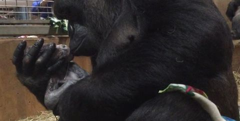 Primate, Common chimpanzee, Human, Snout, Hand, Temple,
