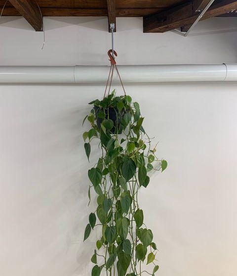 Flower, Plant, Leaf, Wall, Houseplant, Herb, Flowering plant, Ivy, Jiaogulan, Morning glory,