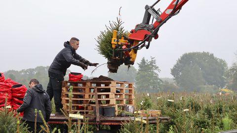 kerstboom kweker kerstmis ballen piek boer veld bos naalden dennenboom spar fijnspar nordmann stam kluit sinterklaas kerstman jezus takken wonderschoon