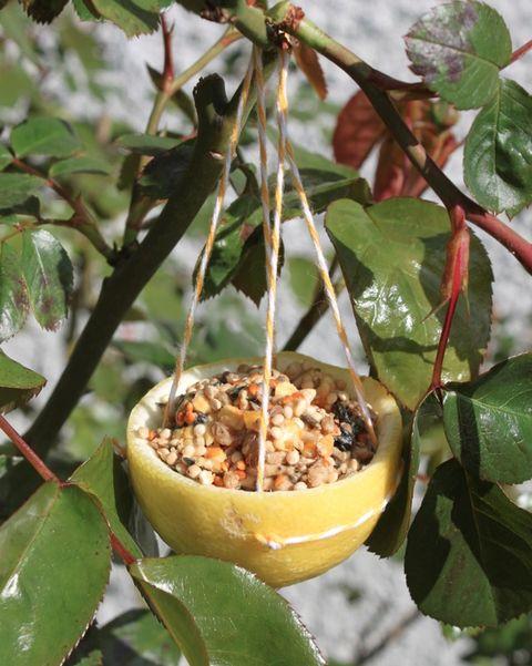 lemon rind bird feeder