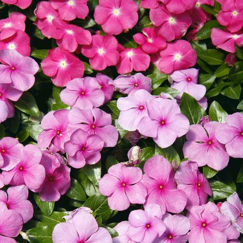 14 Easiest Flowers To Grow Easy Flowers For Beginner Gardeners