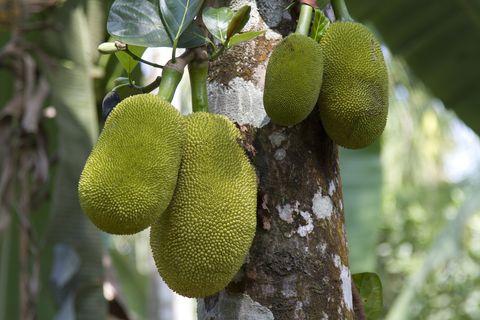 india, wayanad, jack fruit