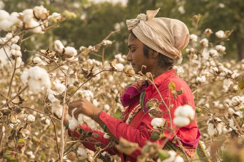 indian woman harvesting cotton in a cotton field, maharashtra, india