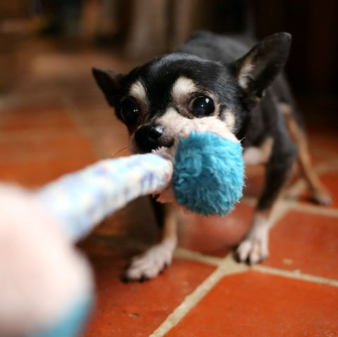 Indoor dog activities - tug