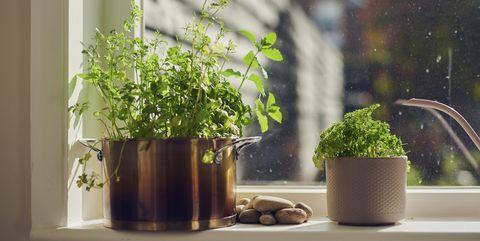 indoor herb plants on window ledge