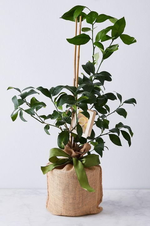 potted lemon tree for indoors