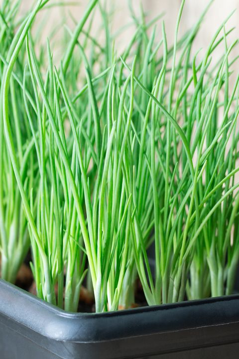 indoor vegetable garden scallions