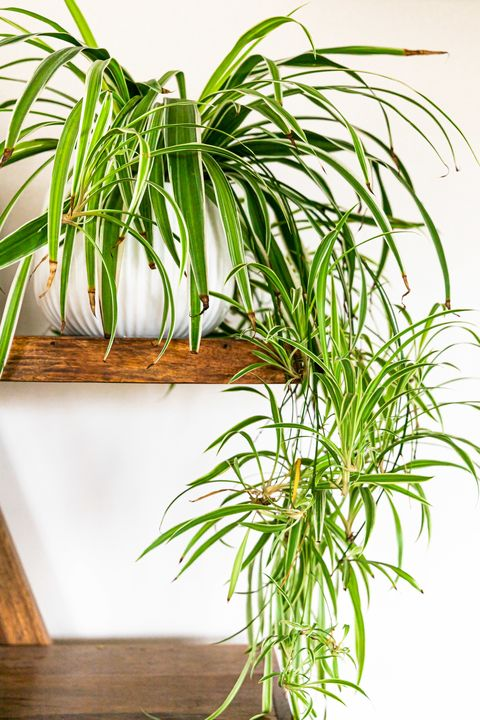 bathroom plants spider plant