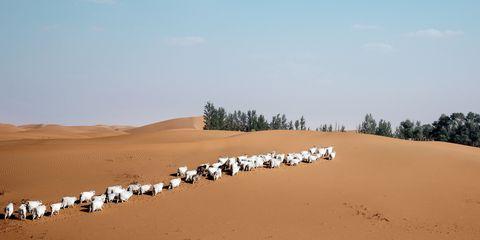 Desert, Sand, Natural environment, Aeolian landform, Herd, Sahara, Dune, Erg, Ecoregion, Landscape,