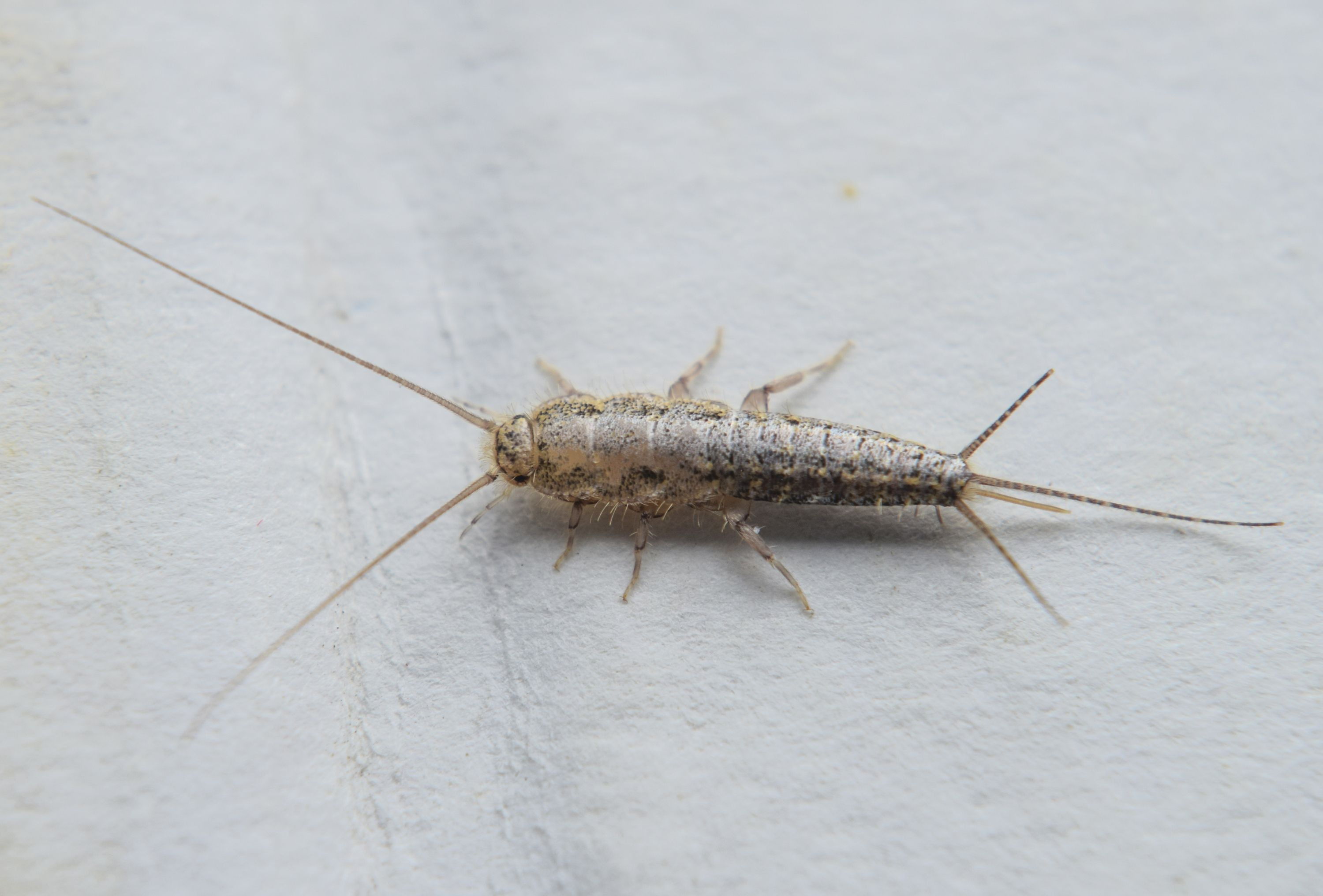 The silverfish interferes with life. Methods of insect control 71